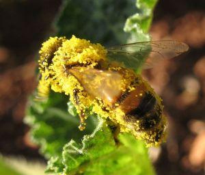 דבורה הנושאת אבקני דלעת