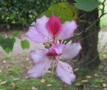 Bauhinia_variegata_flower