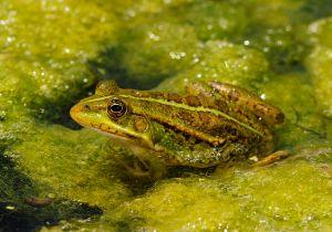 צפרדע הבלקן